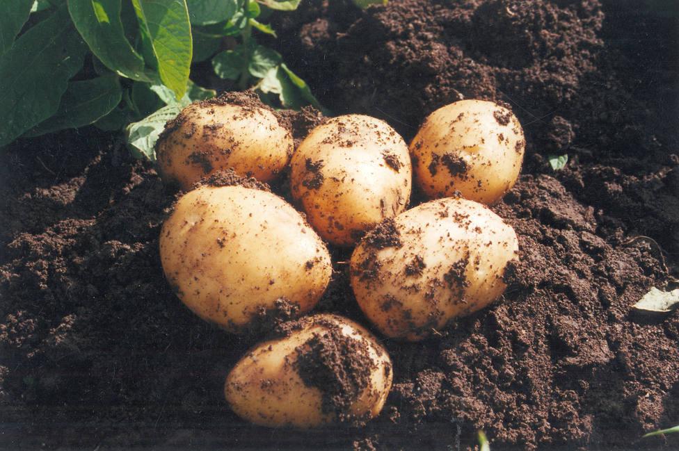 Las propiedades de la patata nueva de Andalucía que llega a los mercados de todo el mundo