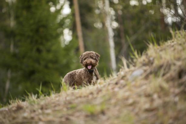 Italia crea la primera Academia que adiestra a perros en la recogida de trufas