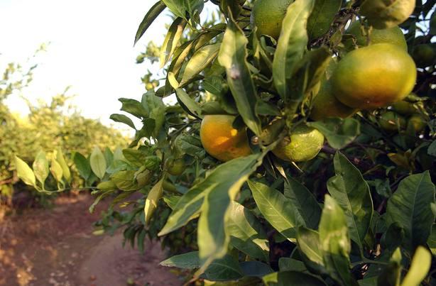 El Gobierno dice que no le temblará la mano si tiene que pedir a la UE la cláusula de salvaguarda citrícola