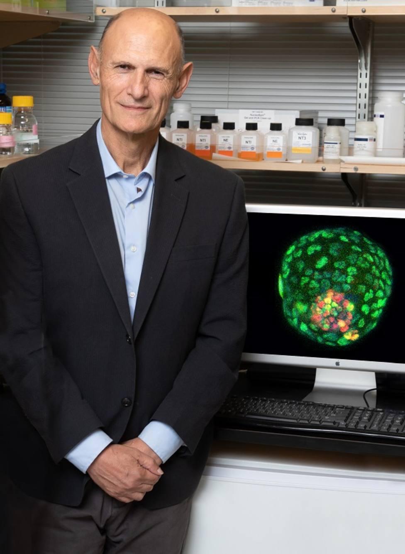 Izpisua crea embriones sintéticos de ratón para avanzar en el conocimiento del comienzo de la vida y la salud