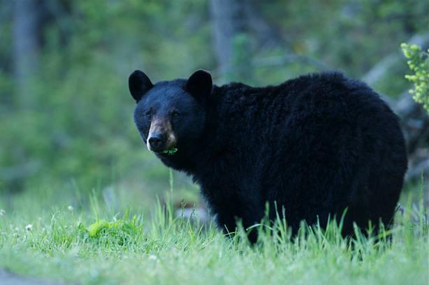 Un oso negro ataca a una niña de 5 años en el patio de su casa en EE.UU.