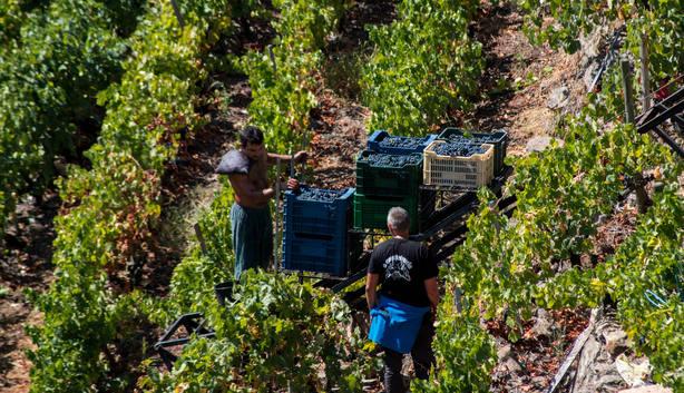 Medio Rural abre mañana el plazo para solicitar ayudas a la reconversión de viñedos. Ramudo