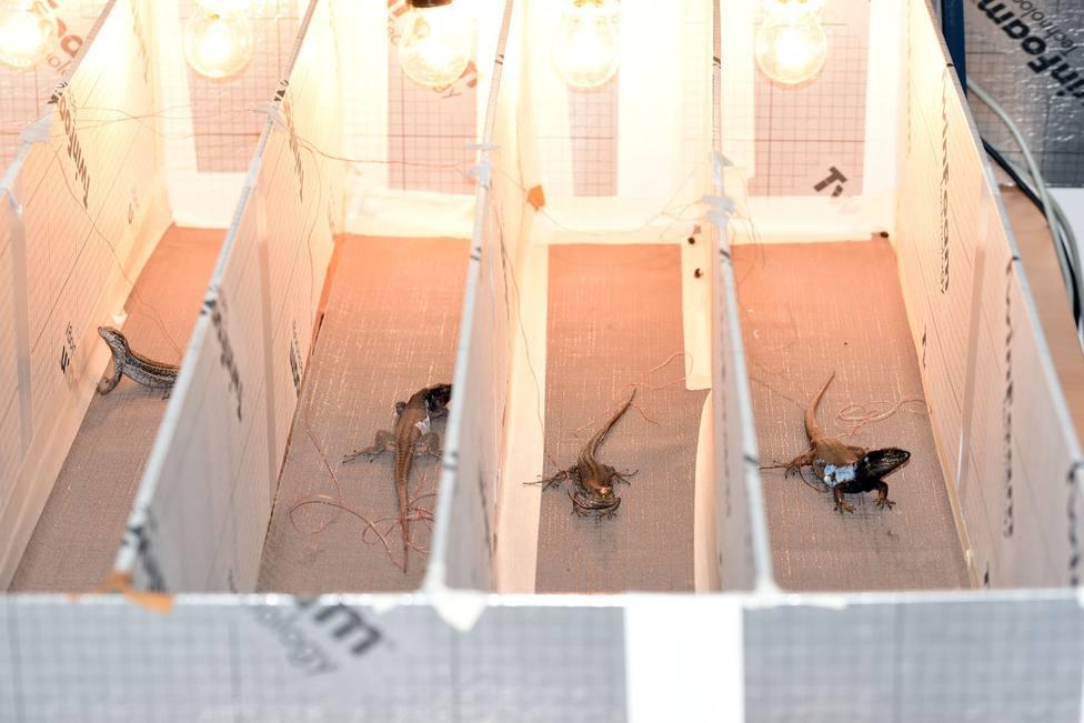 Un estudio revela que las lagartijas de climas fríos están más afectadas por el cambio climático