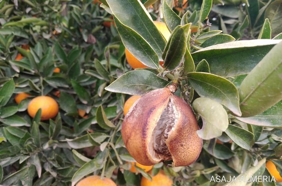 Almería.-Asaja avisa de alta incidencia del rajado de fruto en cítricos del Almanzora y Levante y pide indemnizaciones