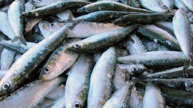 ctv-z5b-sardinas