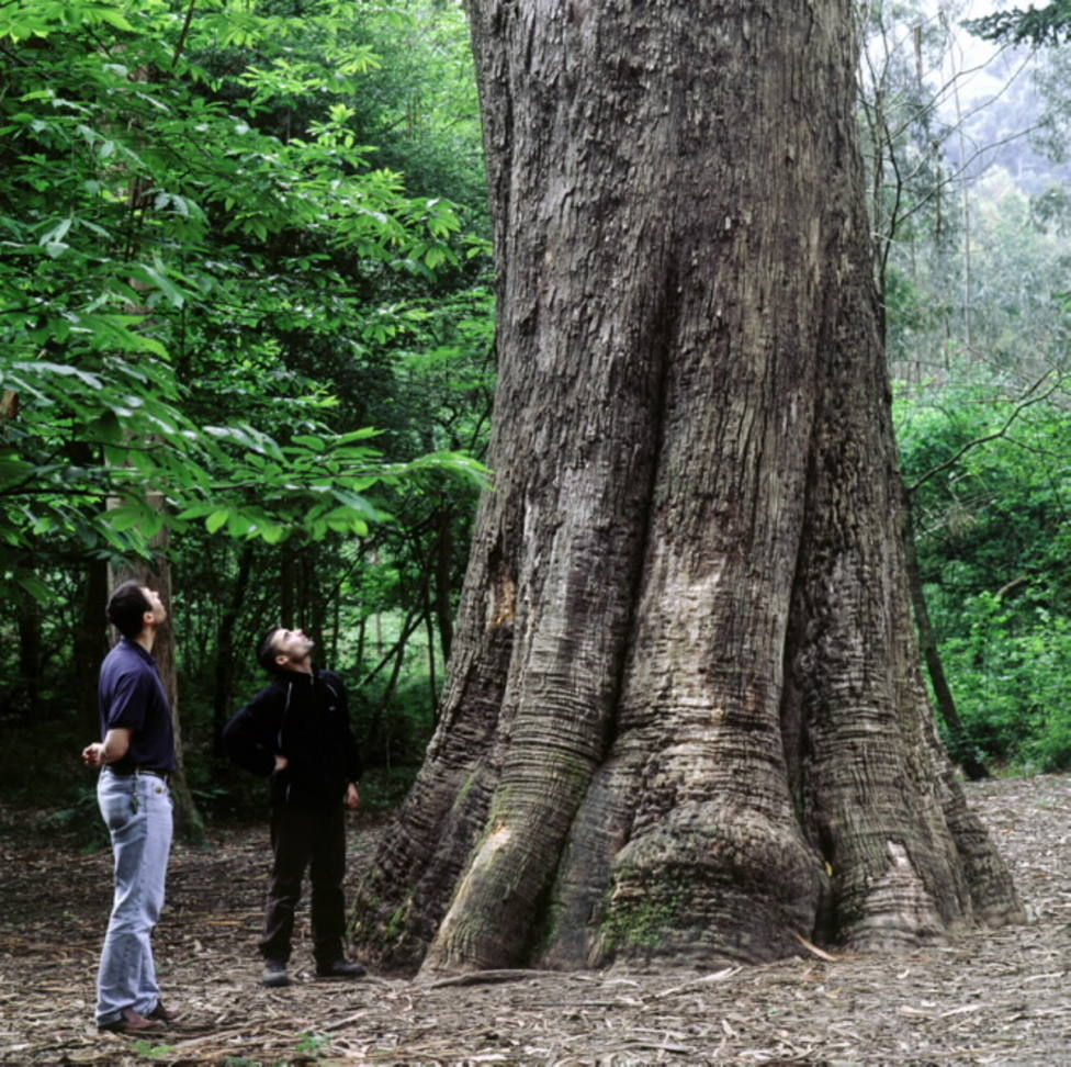 O Avó, el eucalipto más emblemático del eucaliptal de Chavín