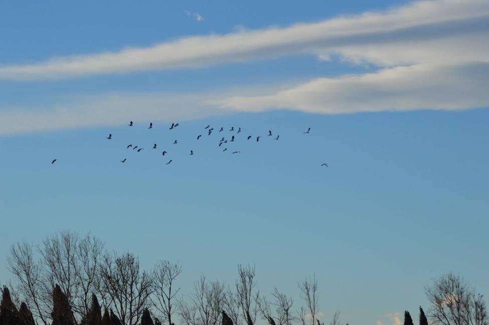 ctv-eov-bandada-de-cormoranes-grandes-antes-de-entrar-en-el-dormidero-1