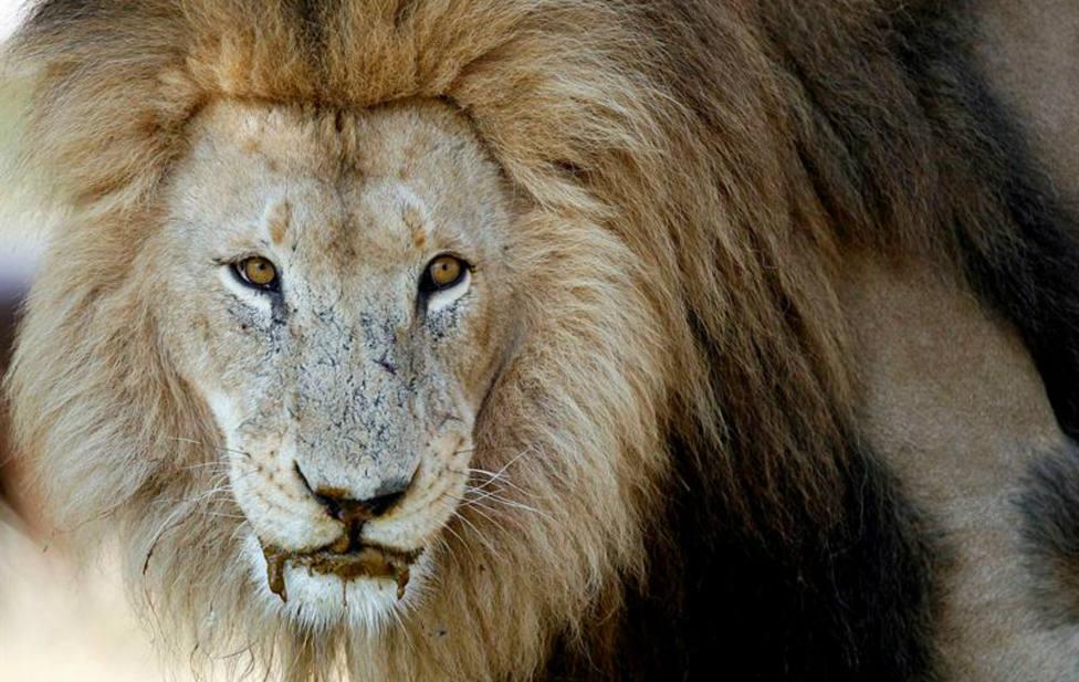 Unos leones devoran a un cazador furtivo después de que le matara un elefante