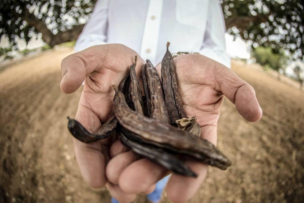 El algarrobo, aliado contra el cambio climático gracias a su papel como sumidero de C02 y a su adaptación a climas secos