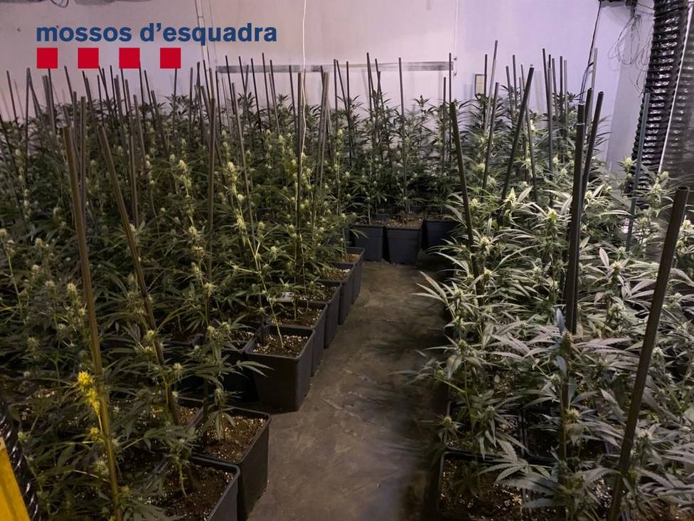 El cuerpo policial, que encontró la droga en dos viviendas de Lloret y Tossa, ha detenido a tres jóvenes