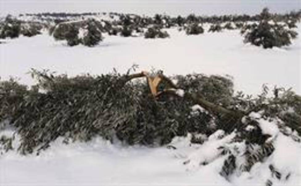 Cultivos de olivo afectadas por la borrasca Filomena