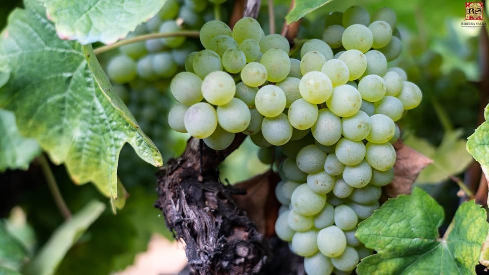 Las uvas ya están maduras en la Ribeira Sacra