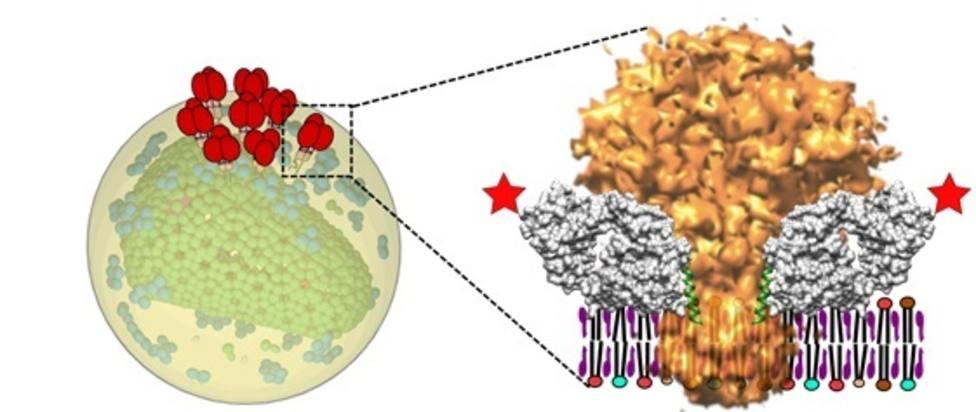 Investigadores españoles identifican la interacción entre el talón de Aquiles del VIH y sus anticuerpos más eficaces