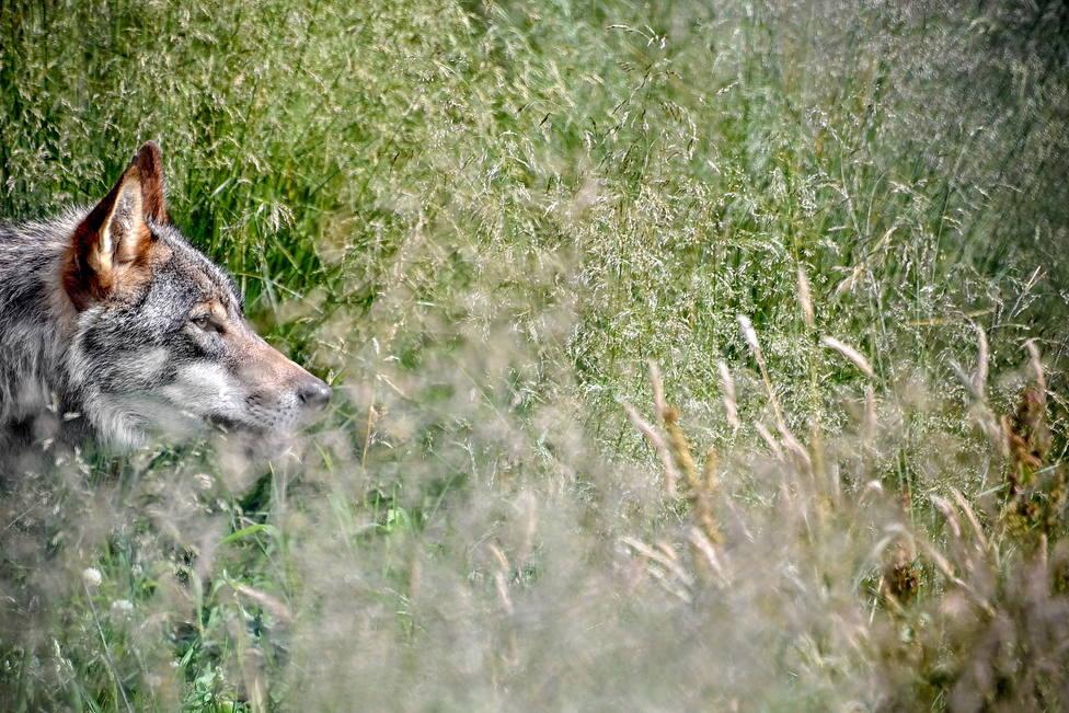 El Supremo sentencia que el lobo también es especie protegida en Cantabria