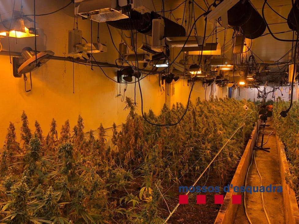 Desmanteladas 1.050 plantas de marihuana en una nave industrial de Vilassar de Dalt (Barcelona)