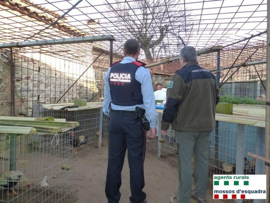 Hallan un cultivo de marihuana y un criadero de gallos de pelea cerca de Girona