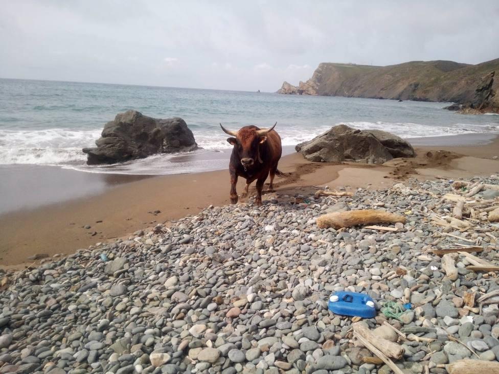 Imagen del toro en la playa de La Carnera (Gozón) tras caer por el acantilado