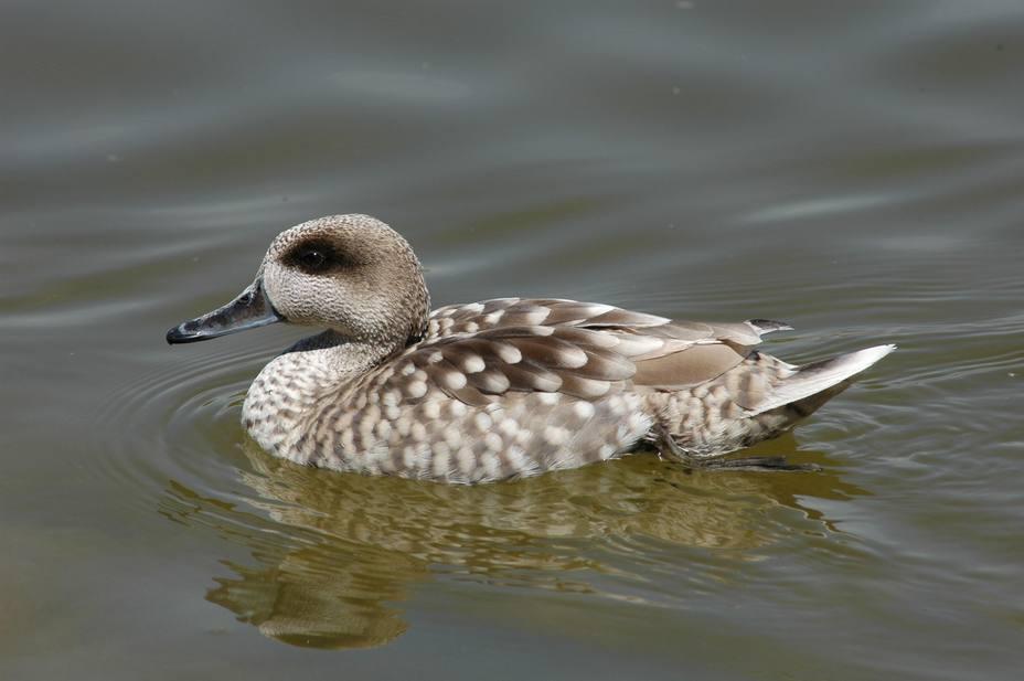 Observadores de Europa, Asia y África contabilizarán las aves acuáticas en 12.000 humedales este fin de semana
