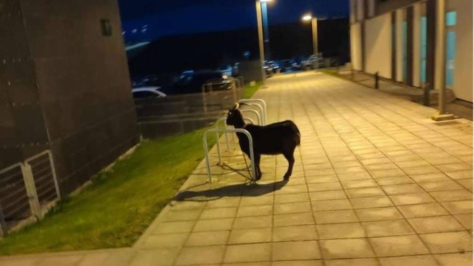 La cabra se encontraba en el Pctcan