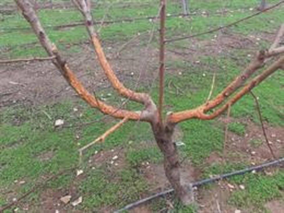 Daños de los conejos en árboles frutales en Alcarràs